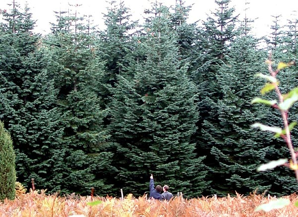 abies_procera_-_Vilmorin_-_Noble_fir