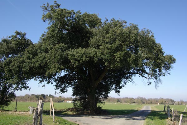 quercus_ilex_-_Vilmorin_-_Evergreen_oak